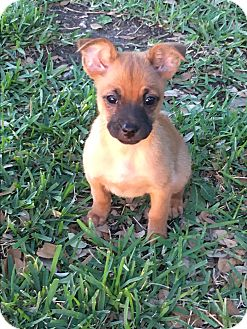 Terrier (Unknown Type, Small)/Jack Russell Terrier Mix Puppy for adoption in Hartford, Connecticut - Jenny