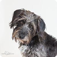 Schnauzer (Standard) Mix Dog for adoption in Naperville, Illinois - Kody