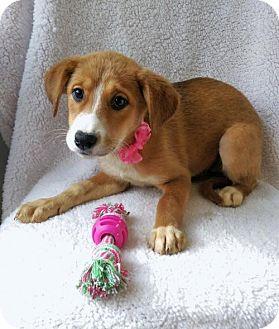 German Shepherd Dog/Husky Mix Puppy for adoption in Elkton, Maryland - Gabby