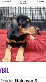 Hound (Unknown Type)/Labrador Retriever Mix Puppy for adoption in Patterson, New York - Helen