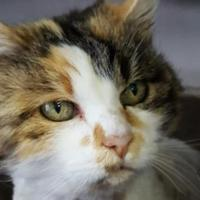 Domestic Longhair/Domestic Shorthair Mix Cat for adoption in Prineville, Oregon - Jazie
