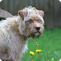 Standard Schnauzer/Poodle (Miniature) Mix Dog for adoption in Bellbrook, Ohio - Dulce