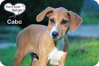 Boxer/Labrador Retriever Mix Puppy for adoption in Lee's Summit, Missouri - Cabo