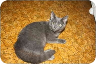 Domestic Shorthair Cat for adoption in Naples, Florida - Pearl