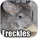 Chinchilla for adoption in Virginia Beach, Virginia - Freckles