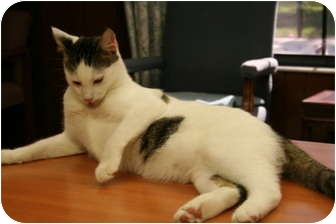 Domestic Shorthair Cat for adoption in Naples, Florida - Max