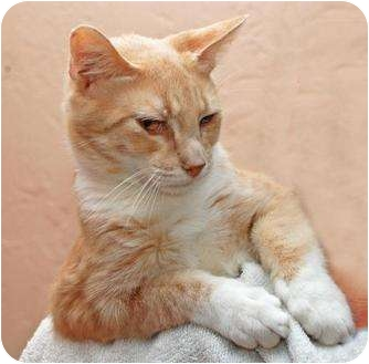 Domestic Shorthair Cat for adoption in Indian Rocks Beach, Florida - Brady