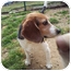 Photo 1 - Beagle Dog for adoption in Manhasset, New York - Sydney