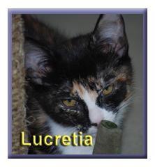 Domestic Shorthair Kitten for adoption in Aldie, Virginia - Lucretia