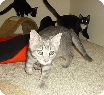 Domestic Shorthair Kitten for adoption in Fairborn, Ohio - Waverly