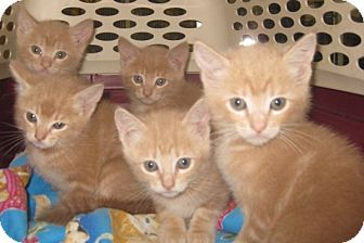 Maine Coon Kitten for adoption in Dallas, Texas - Caramel