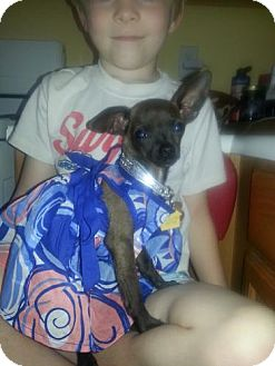 Chihuahua Mix Puppy for adoption in Las Vegas, Nevada - Racheal