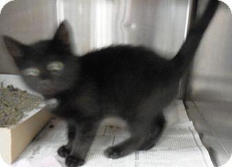 "Domestic Shorthair Kitten for adoption in MARION, Virginia - ""Cami"""