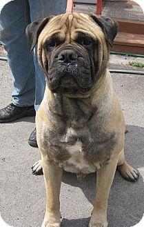 Bullmastiff Dog for adoption in Roy, Washington - Stanley