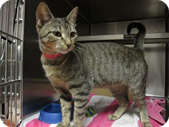 Domestic Shorthair Cat for adoption in Marietta, Georgia - SUSAN