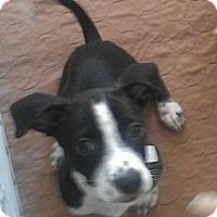 Adopt A Pet :: Papaya - Phoenix, AZ
