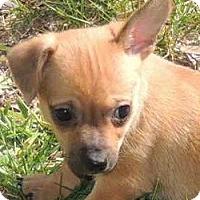 Adopt A Pet :: Tiny Pixie - La Habra Heights, CA