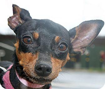 Miniature Pinscher Dog for adoption in Berkeley, California - Precious