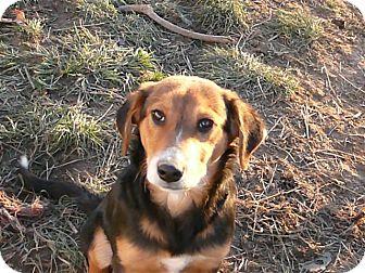 Beagle/German Shepherd Dog Mix Puppy for adoption in Liberty Center, Ohio - Herman