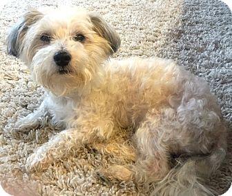 Maltese/Poodle (Miniature) Mix Dog for adoption in Boulder, Colorado - Bentley-ADOPTION PENDING