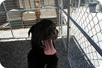 Labrador Retriever Mix Puppy for adoption in Henderson, North Carolina - Bear