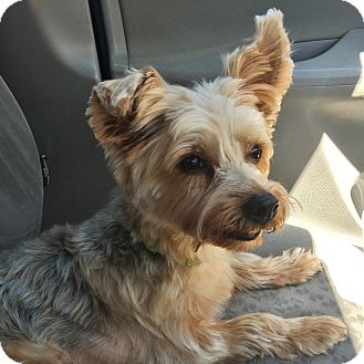 Yorkie, Yorkshire Terrier Mix Dog for adoption in Parker, Colorado - YUMIKO (Yumi)