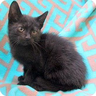 Domestic Shorthair Kitten for adoption in Janesville, Wisconsin - Jaylen