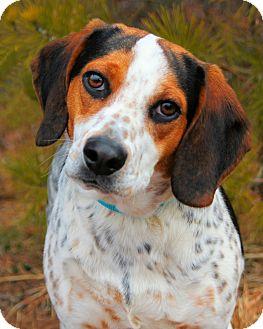 Beagle Dog for adoption in Manahawkin, New Jersey - Uno