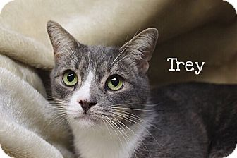 Domestic Shorthair Cat for adoption in Foothill Ranch, California - Trey