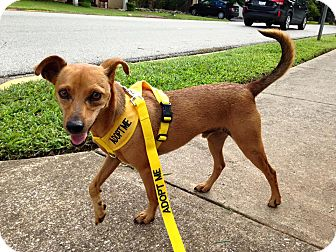 Miniature Pinscher Mix Dog for adoption in Russellville, Kentucky - Casey
