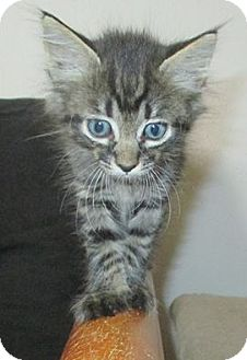 Domestic Mediumhair Kitten for adoption in Mims, Florida - Clyde