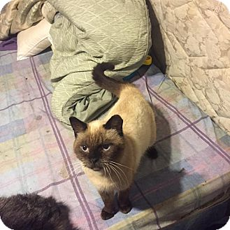 Siamese Cat for adoption in Rochester, Minnesota - Simon