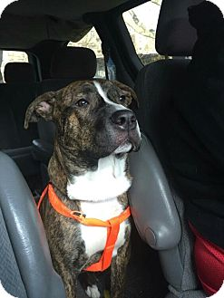 Mastiff/Pit Bull Terrier Mix Dog for adoption in Benton, Pennsylvania - Brownie