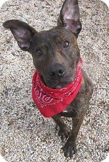 Plott Hound Mix Dog for adoption in Voorhees, New Jersey - Will