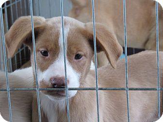 Labrador Retriever/Australian Shepherd Mix Puppy for adoption in Broken Arrow, Oklahoma - Maggie aka Duck