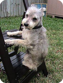 Standard Schnauzer Mix Dog for adoption in Santa Fe, Texas - Raphael- Angel Boy- S