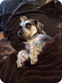 Schnauzer (Miniature)/Pekingese Mix Dog for adoption in Homewood, Illinois - Samson