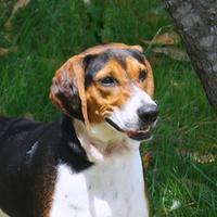 Adopt A Pet :: Bella (D15-207) - Lebanon, TN