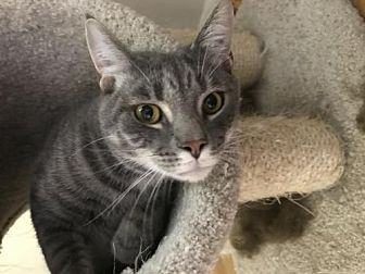 Domestic Mediumhair Cat for adoption in Columbus, Indiana - Shane