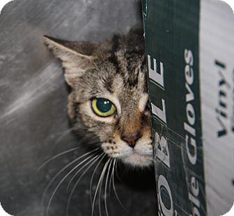 Domestic Shorthair Cat for adoption in Marietta, Ohio - Tiger (Spayed)
