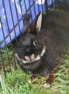 American Mix for adoption in Bowling Green, Kentucky - Anna