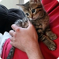 Domestic Shorthair Kitten for adoption in White Bluff, Tennessee - Tigger/NB
