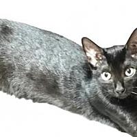 Adopt A Pet :: KITTENS-DEBARY 2 - DeLand, FL