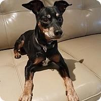 Adopt A Pet :: Laurel - Deerfield Beach, FL
