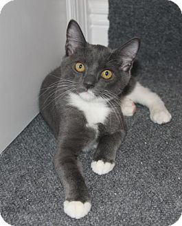 Domestic Shorthair Kitten for adoption in Tampa, Florida - Prudence