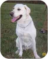 Labrador Retriever Dog for adoption in Palatine, Illinois - YOGI