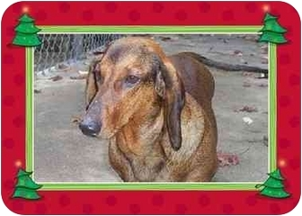 Dachshund Dog for adoption in All of New England, Connecticut - Dove
