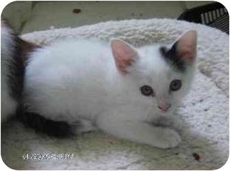 Calico Kitten for adoption in Lutz, Florida - Alaska