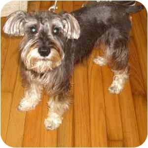 Schnauzer (Miniature) Dog for adoption in Redondo Beach, California - Freddie