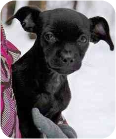 Chihuahua/Dachshund Mix Puppy for adoption in Osseo, Minnesota - Tyson